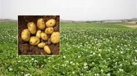 Patatas para la mantener la tensión baja