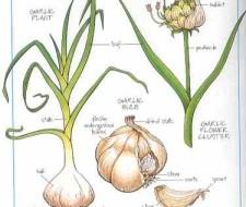 El ajo, fuente de salud